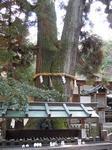 神木とされる大杉.JPG