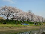 近場でお花見3.JPG